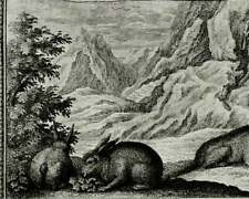 1735 Antique copper engraving of RABBITS. Fantastic Animals. Natural History.