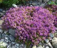 CREEPING THYME GROUND COVER Thymus Serpyllum - 35,000 Bulk Seeds