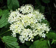 Arrowwood Viburnum - Established Perennial Shrub - 1 Gallon Trade Pot - 1 Plant