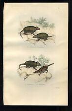 Tattoo and Tamandua Anteater Original engraving 19eme