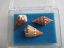 3 Conus Marmoreus 35mm East Samar Island Philippines 110S8