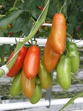 Tomato – 'San Marzano' (solanum lycopersicum) 25 Reliable Viable Seeds