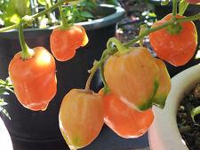 Orange Habanero: 20 Seeds - Heavy Yield & Extreme hot Chilli