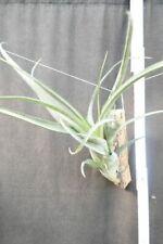 Tillandsia flexuosa, aufgebunden,