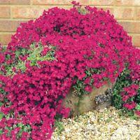 Aubrietia - Cascade Red - 250 Seeds
