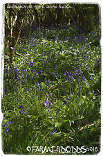 Hyacinthoides non-scripta 'English Bluebell' [Ex. Co. Durham] 100+ SEEDS
