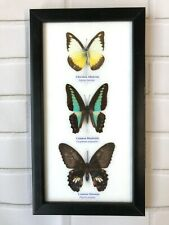 3 Framed Butterflies Taxidermy Insect Wooden Picture Display Frame Genuine Bug