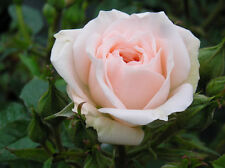 SPECIAL FRIEND - 4Lt Potted Patio Rose - Very Pretty Pink Blooms - Ideal Gift