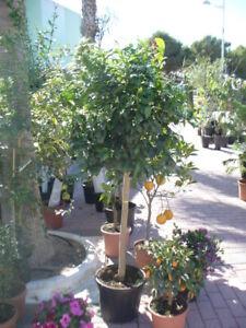 Apfelsinenbaum, Orangenbaum mehr jährig schön gewachsen, 150-160cm hoch