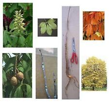 1 Ohio Buckeye Tree 12+in, Fast Growing Shade Tree, Bareroot - Ready to Ship