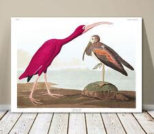 "FAMOUS SEA BIRD ART ~ CANVAS PRINT  8x10"" ~ JOHN AUDUBON ~ Scarlet Ibis"