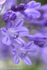 NUOVO agapanthus JACARANDA UK allevati giardino pianta perenne