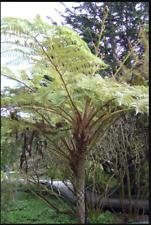 Cyathea cooperii, Australian Tree Fern