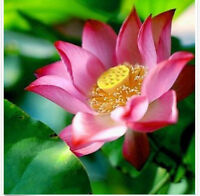 FD1400 Chinese Red Lotus Flower Seed Beautiful Aquatic Plants Nelumbo ~10 Seeds~
