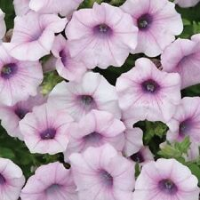 25 Pelleted Petunia Seeds Shock Wave Pink Vein Garden Starts