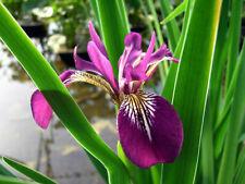 Iris ensata 'Rose Queen' Pond Plants Marginal Pond Plants Water Plants