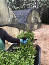 100-Thuja Green Giant Liners
