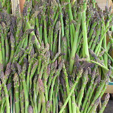 Huge Jersey Giant Live Asparagus Plants. Huge Roots As Shown. Ships Today