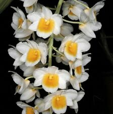 Dendrobium PALPEBRAE seedling orchid plant in 80mm pot