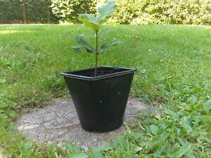 English Oak Tree (Quercus Robur) in a pot