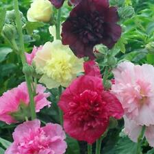 Hollyhock Majorette Double Mixed Heirloom Dwarf Pure Seed No Filler 25 Seeds