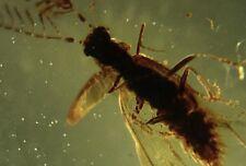 VERY RARE Rhipiphoridae sp. inclusion in Burmite Ambers Fossil Genuine
