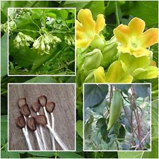 Telosma cordata 20 Seeds Cowslip creeper Chinese violet Vine Seeds Rare Thailand