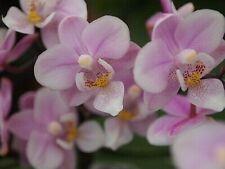 Mini Phalaenopsis Jiaho's Pink Girl Orchid Plant - 2 spikes