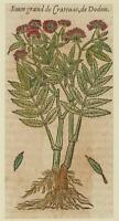JACQUES DALECHAMPS SIUM LATIFOLIUM GREATER WATER PARSNIP CRATEVAS MATTHIOLI 1630
