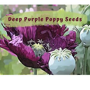 Deep Purple Poppy Seeds  100 plus seeds in each pack