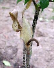 Giraffw Knee Gonatopus Boivinii Waking up ready to grow amorphophallus Rare! #2