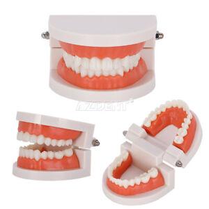 Schools/Colleges Study Teach Tooth Demonstrations Dental Standard Teeth Model