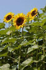 Flower - Sunflower Titan - 5 Seeds - Economy Pack - Upto 12 Feet Tall