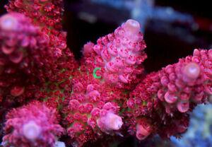 WCR Rainbow Acropora SPS Coral