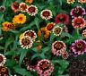 OLD MEXICO ZINNIA - Zinnia Haageana - 700 SEEDS - Double Bicoloured Flower#956