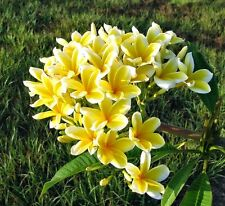 Rooted Fragrant Hawaiian Yellow Plumeria Plant, Rooted Cutting Frangipani 1tip