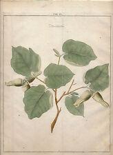 1763 Johann H Knoops Pomologia Fructologia hand colored engraving hazelnuts