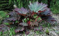 Chinesischer Rhabarber-  Rheum palmatum var. Tanguticum Chinese rhubarb 5+ Samen