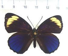 Callicore Astarte ssp. casta femmine ex Mexico RARO n400