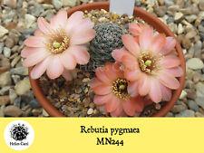 Cactus Seeds - Rebutia pygmaea MN244