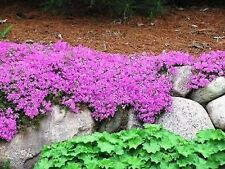 *FALL SALE* 2 Pot Hardy PHLOX SUBULATA Plants Pink Creeping Evergreen Butterfly