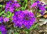 Moss Verbena Seeds, Perennial Ground Cover, Creeping, Perennial, Purple Flower