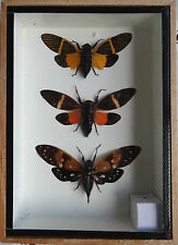 CICADA INSECT X 3 - TAXIDERMY - SPREAD WINGED DISPLAY BOX - GENUINE SPECIMENS