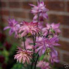 AQUILEGIA (Columbine)- Rose Barlow  15 Seeds