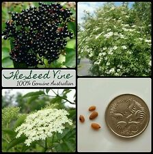 50+ BLACK ELDERBERRY TREE SEEDS (Sambucus nigra) European Edible Fruit Deciduous