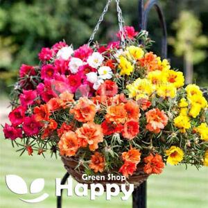 MOSS ROSE DOUBLE - 3500 SEEDS - Portulaca grandiflora - Hanging Baskets Flower