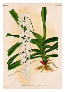 Aeridrs Fieldingi by Jean Linden Orchids A4 Art Print