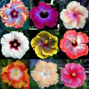 100Pcs Seeds Hibiscus Flowers Plants Rare Types Beautiful Bonsai Decoration Home