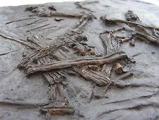 FOSSILS REPLICA Jurassic Pterosaur bones DIMORPHODON - 1st time ever Mary Anning