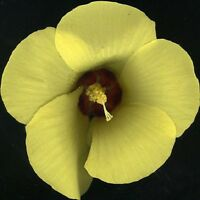 Native Yellow Hibiscus Seed Tall Shrub Warm Climate Drought Tolerant